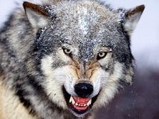 دوستی با گرگ